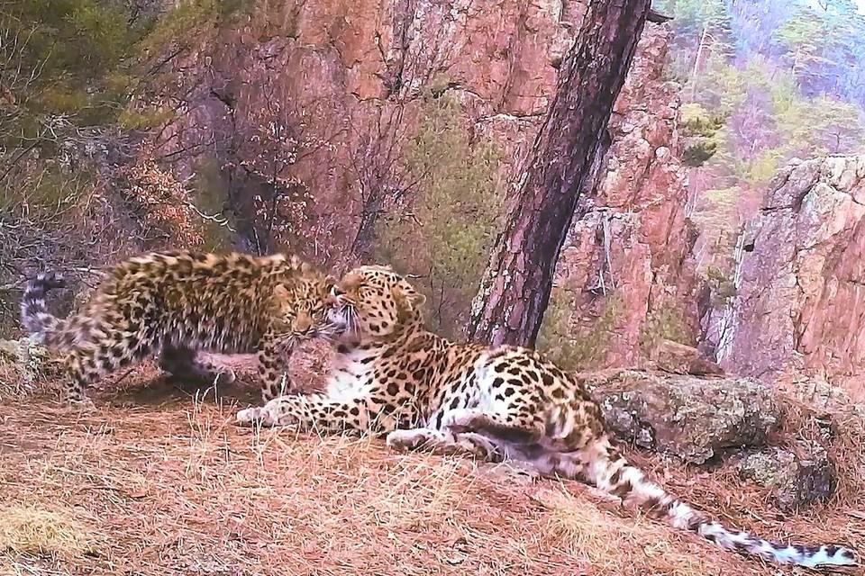 Фотоловушка запечатлела леопардессу и котенка на открытом месте.