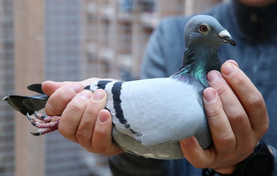 Самка голубя Новая Ким - победитель гонки и обладательница титула лучшей молодой птицы Бельгии.