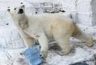 Медведица Шилка из новосибирского зоопарка родила двойню в Японии