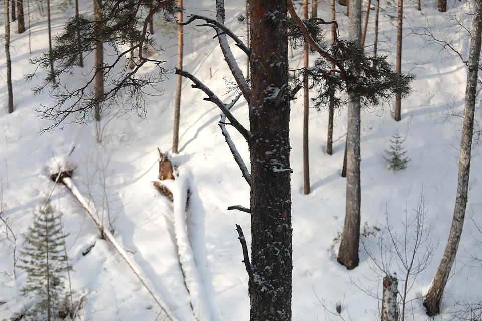 В Туве спиленное дерево убило 15-летнего подростка