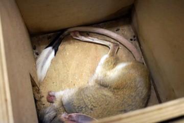 Спят как сурки: в Московском зоопарке тушканчиков уложили на зиму в специальные холодильники
