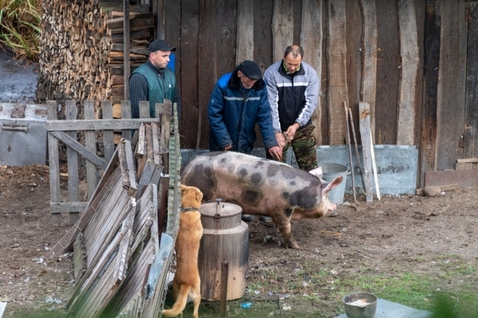 На омской ферме, где нашли африканскую чуму свиней, кормили животных отходами из «ковидной» больницы