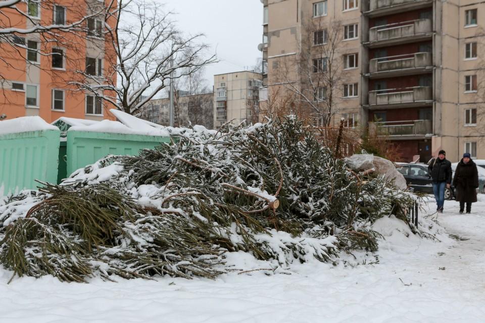 Ненужные елки пойдут на постилки и корм животным