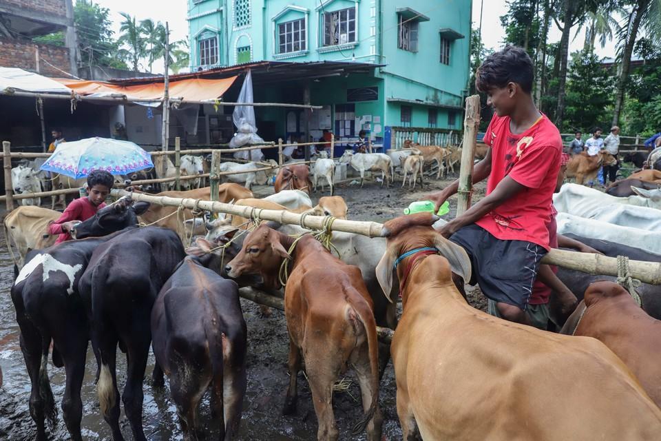 Коровы которые в Индии считаются священными животными