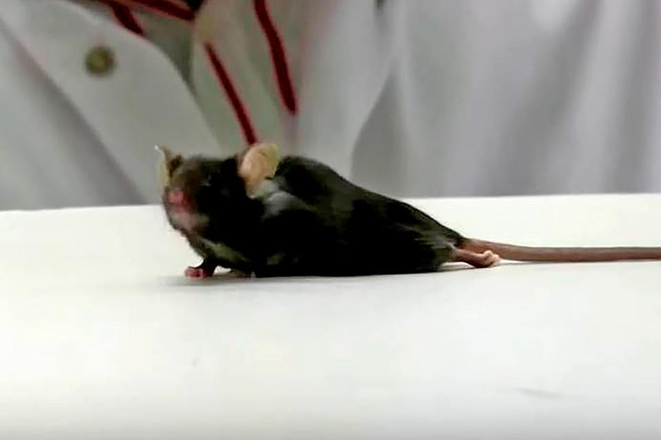 Сенсация: Медики вылечили парализованную мышь, у которой отнялись задние лапы