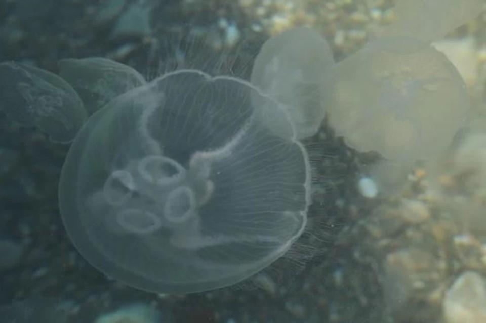 Экологи объяснили частую тенденцию увеличения численности медуз в Крыму.