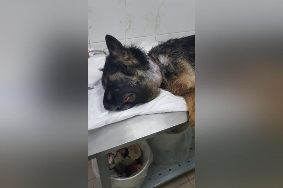 """Собаку в адовом состоянии нашли волонтеры в Кузбассе. ФОТО: приют """"Шанс на жизнь"""""""