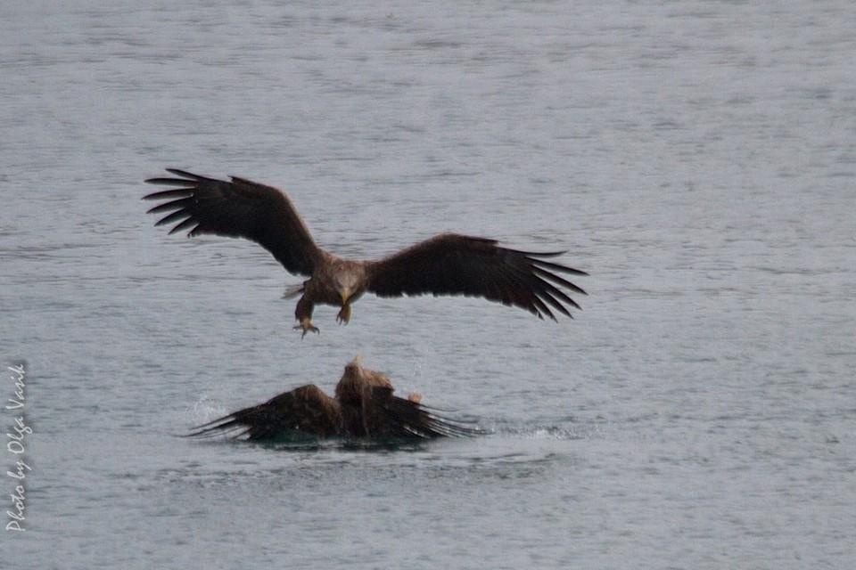 Орлан дважды пытался потопить упавшего в воду соперника. Фото: Ольга Васик