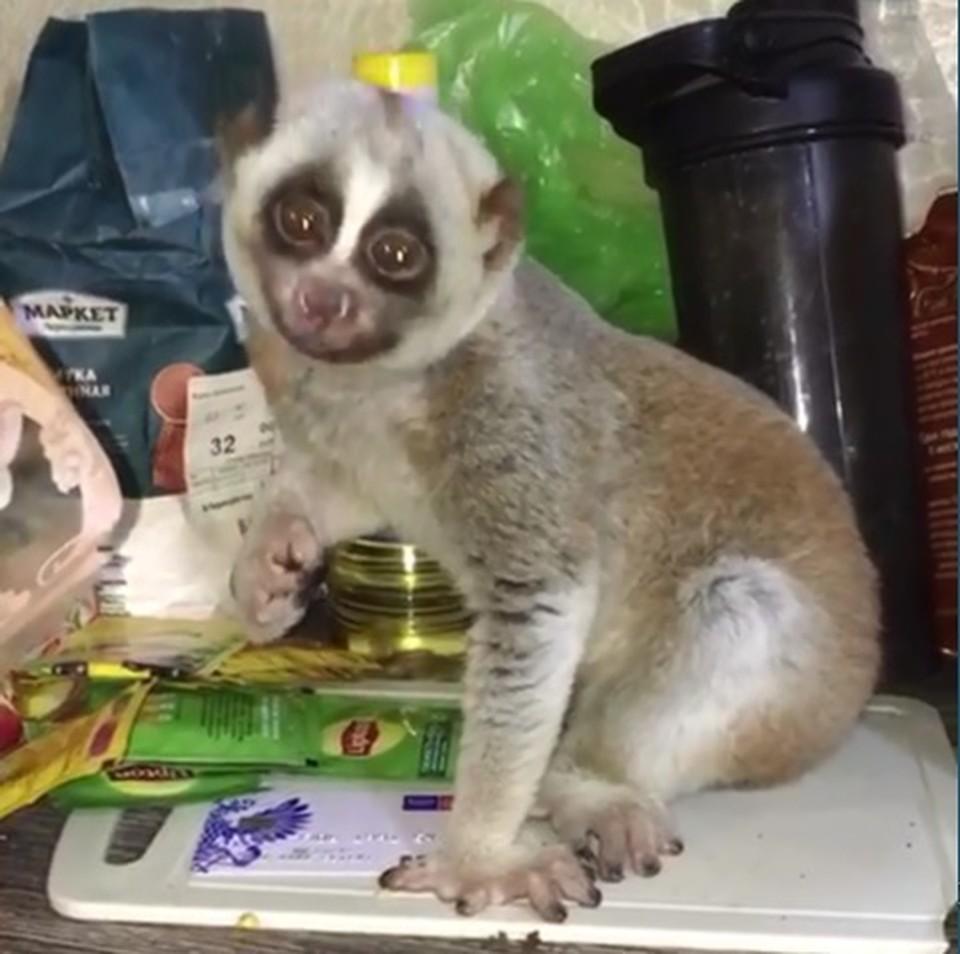 Лемур сейчас на ответственном хранении в зоопарке. Фото: МВД Анапы