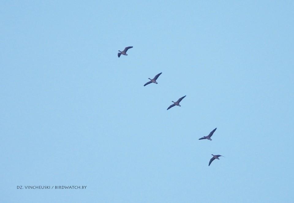 Перелетные птицы возвращаются в Беларусь. Фото: birdwatch.by