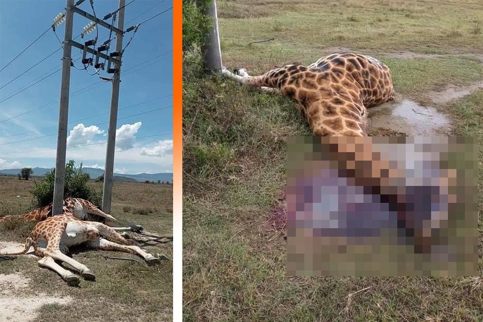 Шокирующие фотографии гибели животных у линий электропередач. Фото: twitter.com/paulakahumbu