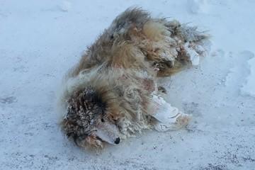 Пес заплакал, когда отогрелся: в Челябинской области волонтеры спасли собаку, найденную на дороге в мороз