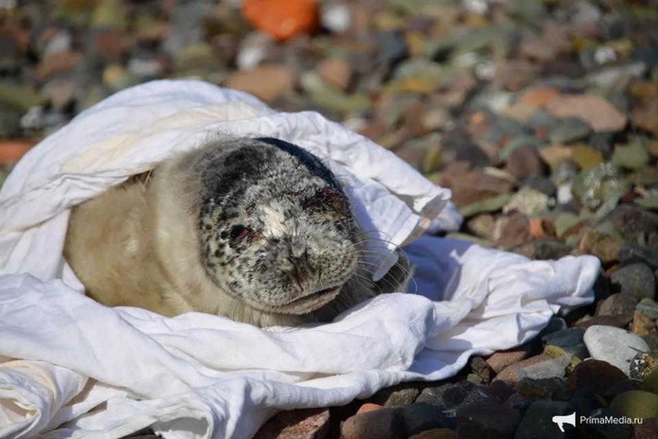 Травмированного тюленя нашли на острове Русский. Фото: primamedia.ru