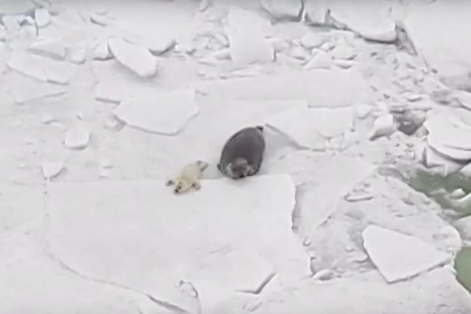 Петербуржцам показали видео с семьей серых тюленей Финского залива