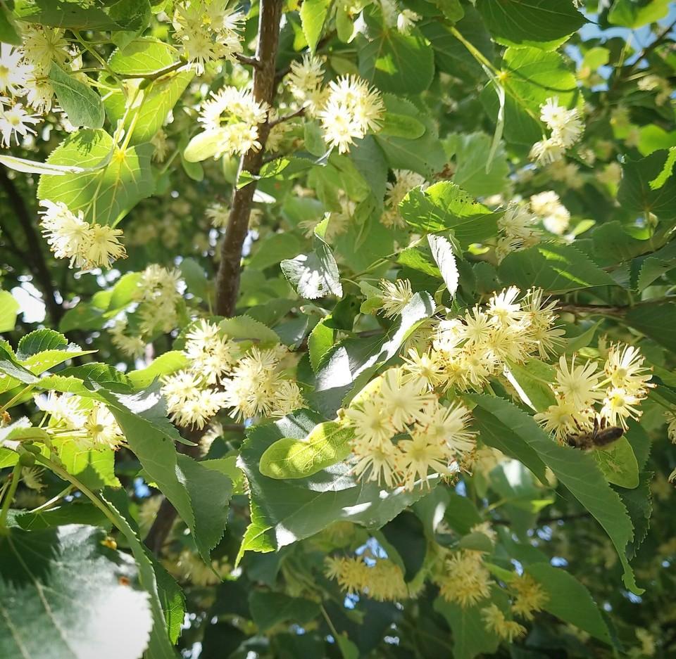 В Орловской области планируют увеличить количество лип для пчел