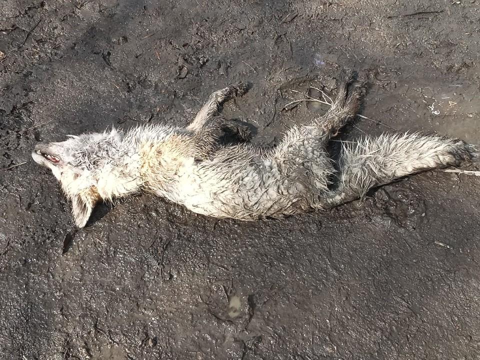 В Саратове нашли труп бешеной лисы. Фото из группы «Регион-64 Саратов»