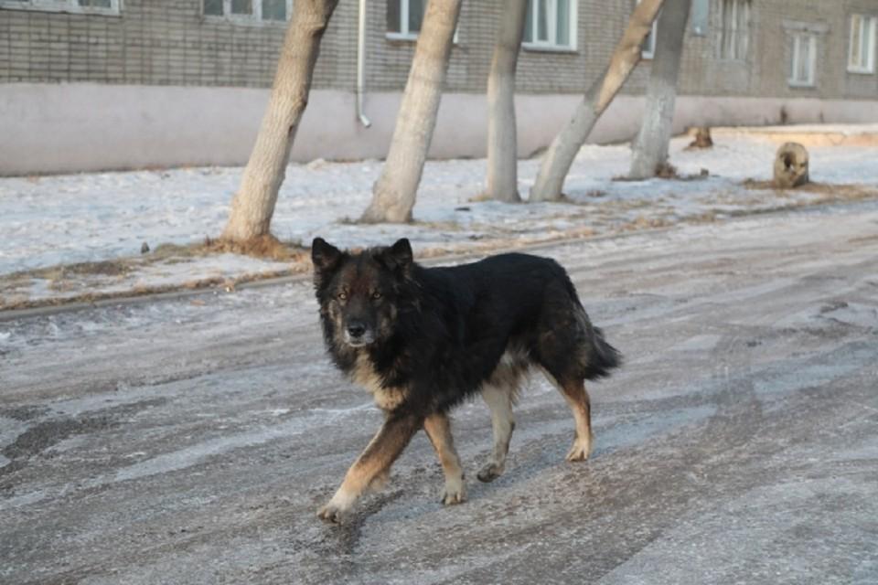 Собака напала на ребенка под Новосибирском.