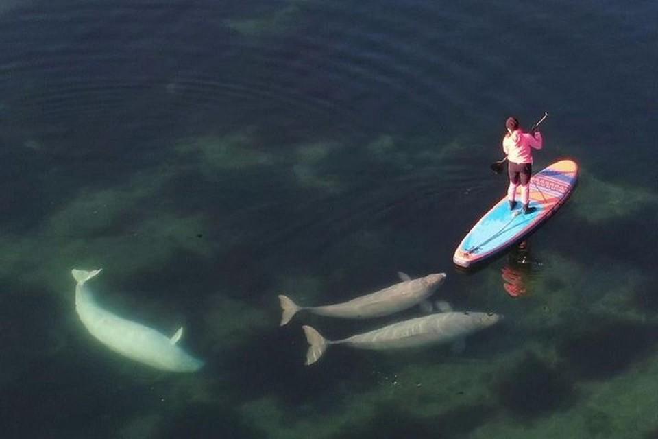 Белухи приближались к людям и не боялись плавать рядом с ними. Фото: instagram/flyvdk