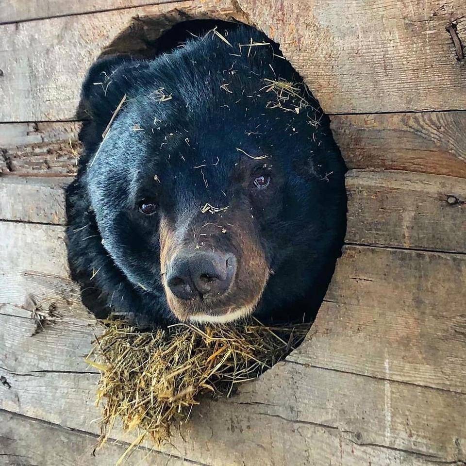Мишки были вынуждены буквально погибать в тесных клетках. Сейчас косолапые живут в просторных берлогах. Фото: Приют для медведей «Кипарисово».