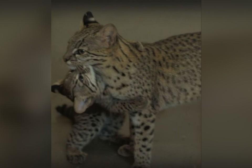 В Новосибирском зоопарке показали кошку Жоффруа с ее котенком. Фото: Кадр из видео