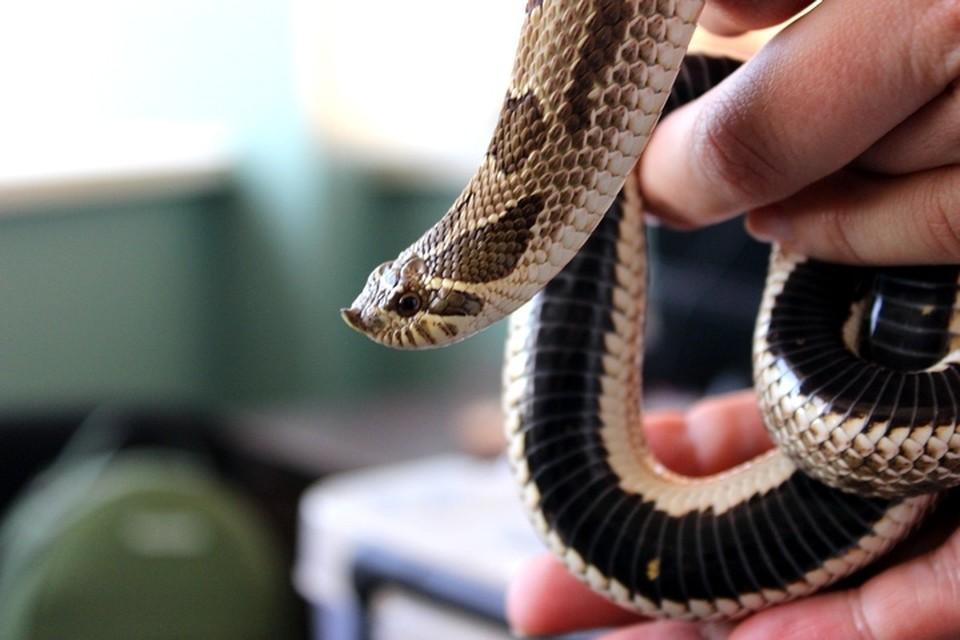 Свиноносый уж. У этой змеи есть ядовитые железы, но они расположены достаточно далеко. Фактически она ядовита, но при этом безопасна.