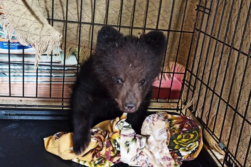 «Сидел у дороги без сил»: истощенного медвежонка нашли сибиряки на трассе Иркутск-Улан-Удэ. Фото: предоставлено питомником К-9