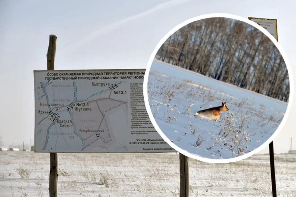 Сибирские косули живут на территории заказника.