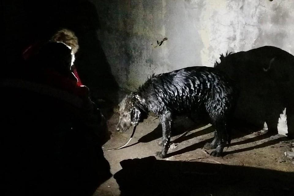 На деньги, которые оперативно собрали в первые же минуты спасательной операции, купили специальную пасту, учтобы отмыть мазут с шерсти. Фото: «Группа волонтёров Лизы Титовой»/vk.com/dobrovmurmanske