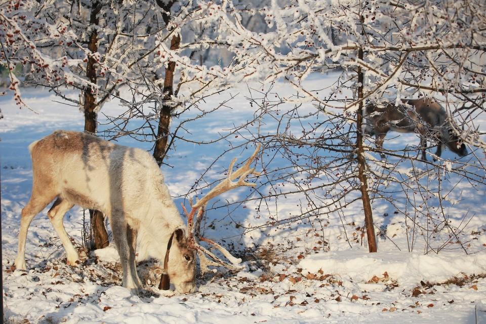 На Камчатке погибли олени.