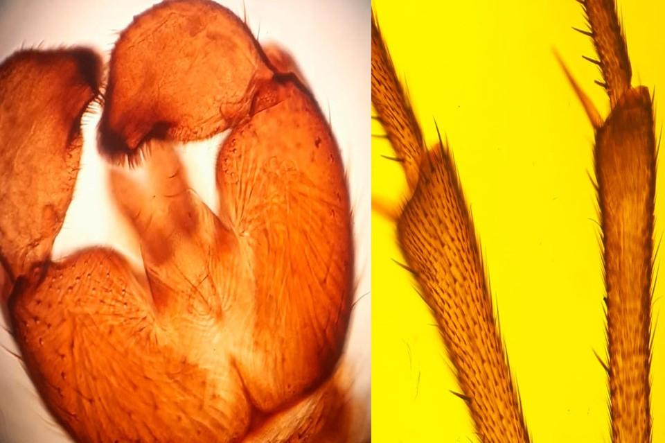 Неизученные экземпляры - янтарно-оранжевые, хорошо-вытянутые с двумя бугорками вместо одного