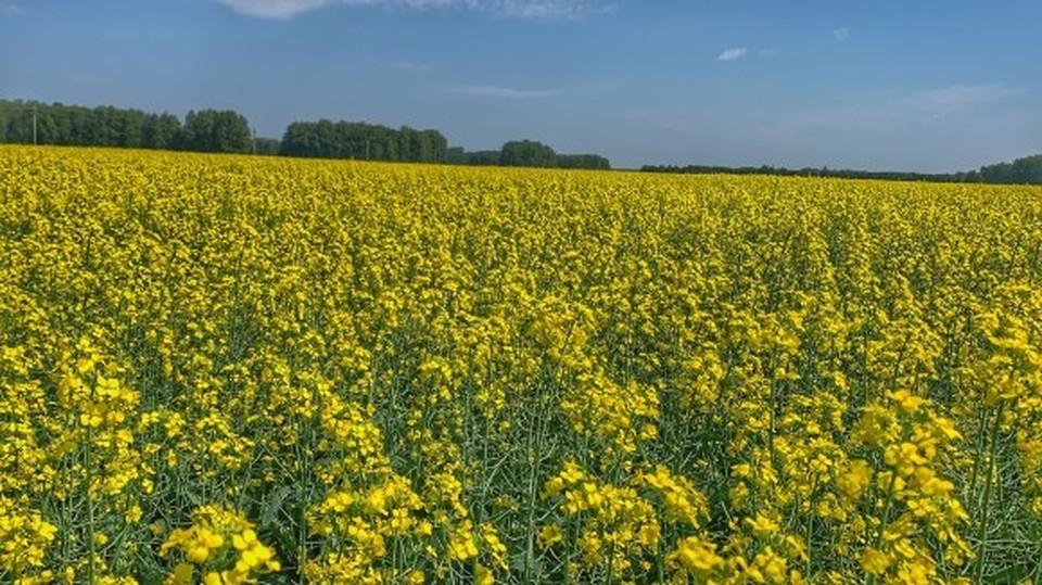 Омская область стабильно входит в двадцатку территорий по количеству выращиваемого рапса.