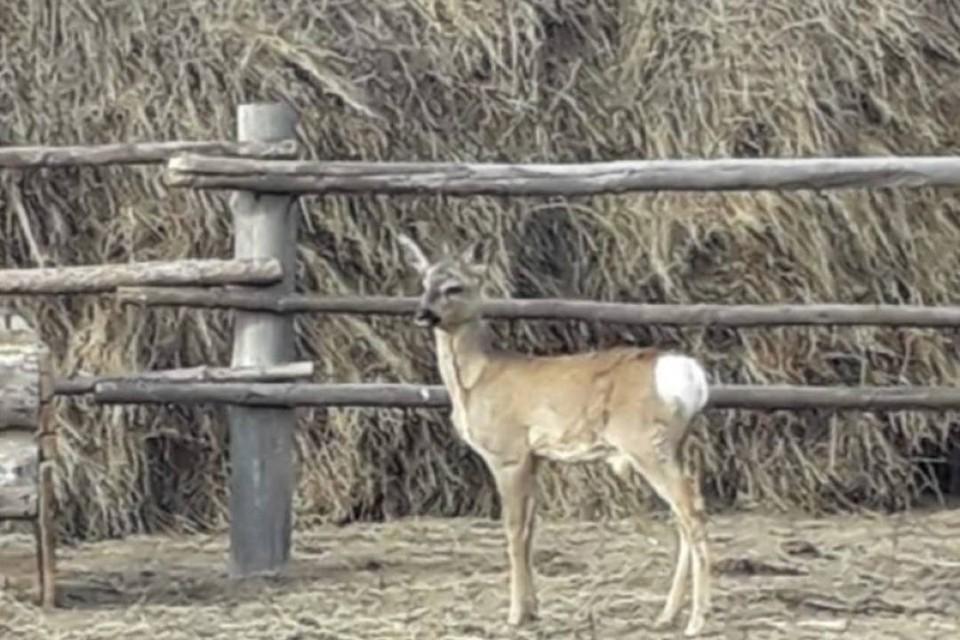 Дикую косулю в Забайкалье спасли и поселили в загоне с коровами. Фото: пресс-служба ветслужбы Забайкальского края.