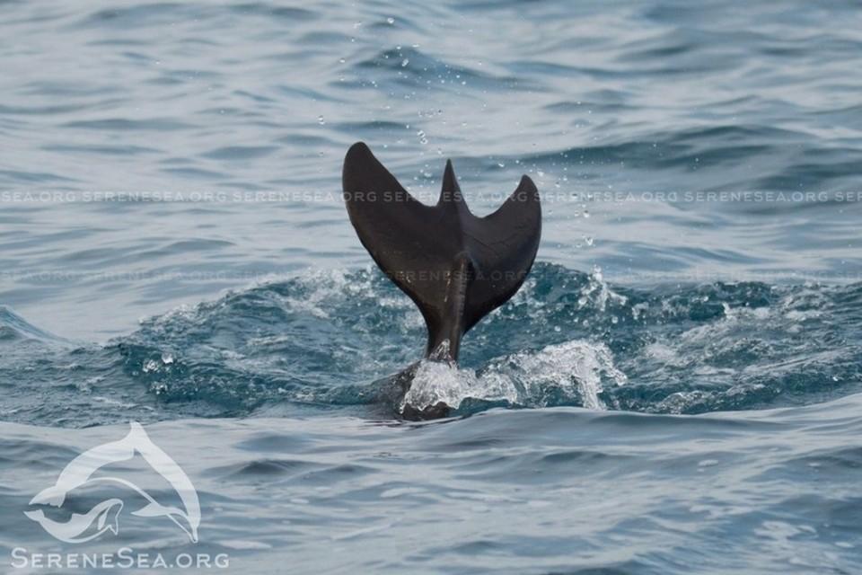 Ученым удалось сфотографировать и живого дельфина с хвостом-«трезубцем». Фото: Центр реабилитации дельфинов «Безмятежное Море»/VK