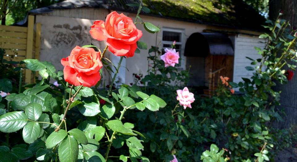 Специалисты Россельхознадзора обнаружили вредителя в армянских розах