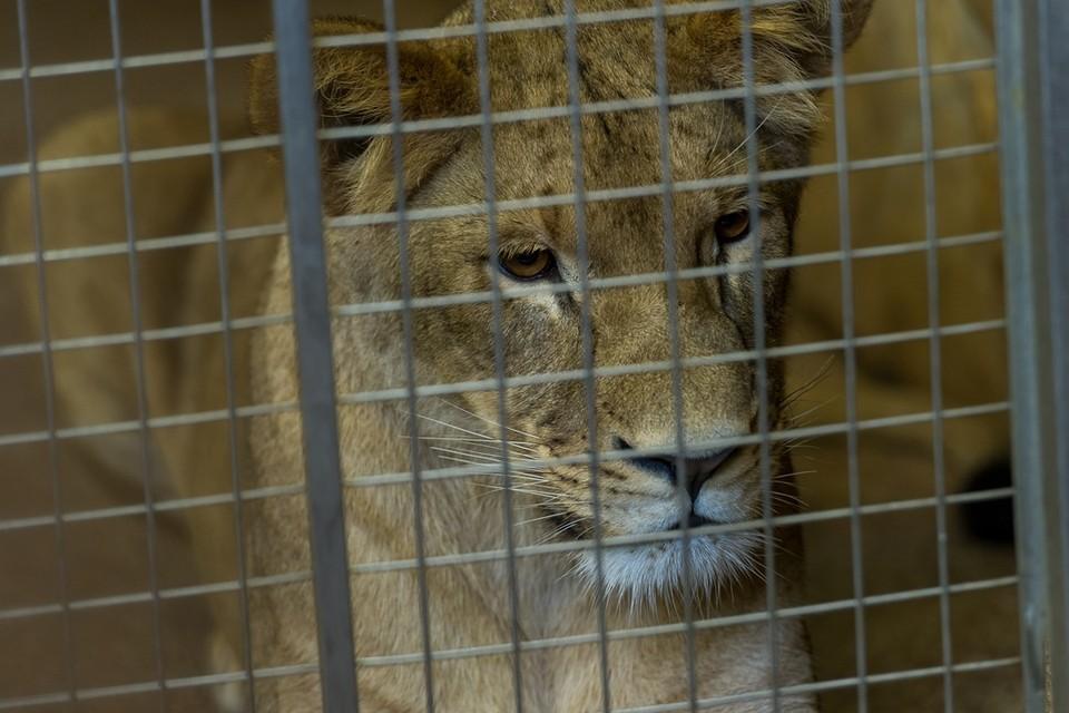 По словам зоозащитницы, львицу нашли в хуторе Победа.