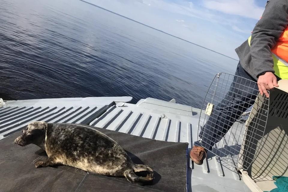 """В Финский залив выпустили четверых выздоровевших тюленят. Фото: """"Водоканал"""""""