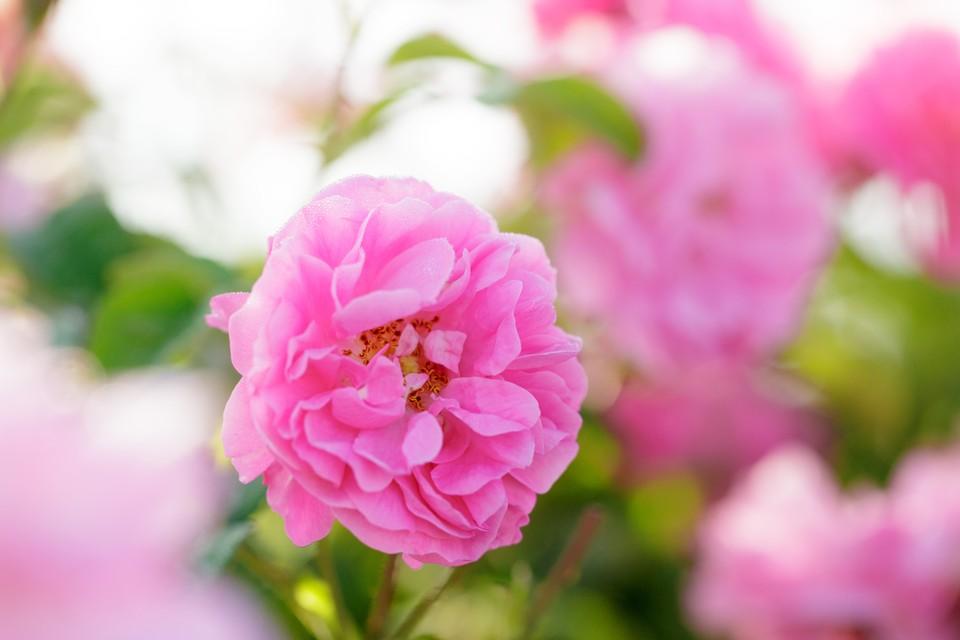 Плантации эфиромасличной розы цветут всего три недели в году и достойны внимания туристов.