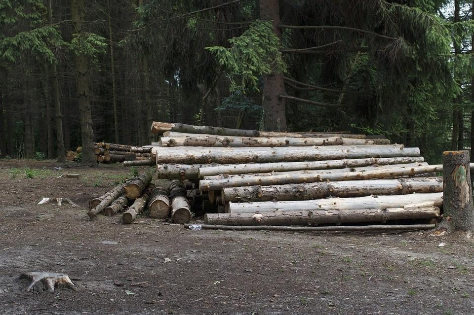 Астраханец срубил деревьев на 30 млн рублей и 4 года условного лишения свободы