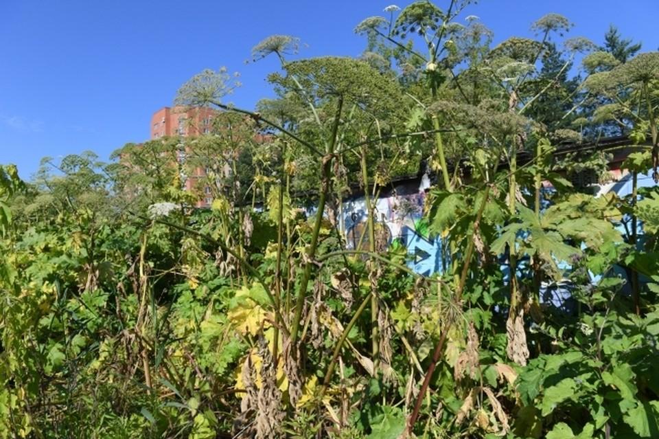 Островитян оштрафуют за игнорирование борщевика