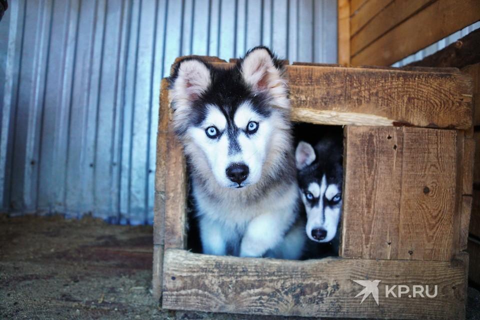 Собаку породы хаски можно купить за 15-30 тысяч рублей