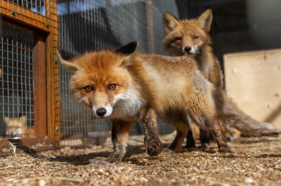 Новосибирские ученые доказали, что одомашненные лисицы значительно умнее своих диких сородичей.