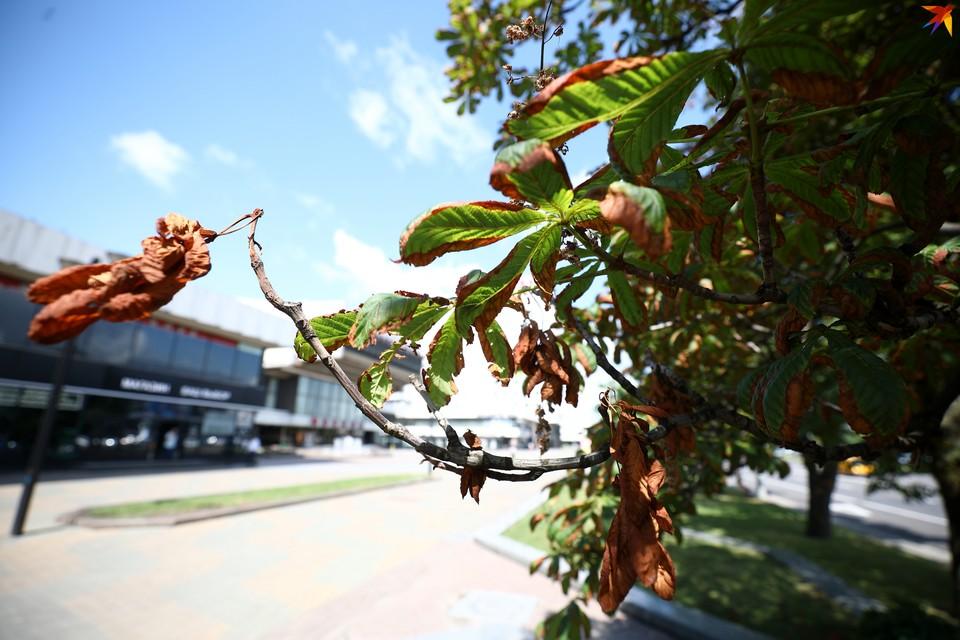 Минирующая моль уничтожает листья каштанов. Они преждевременно сохнут и опадают. И эта напасть по всей Европе.