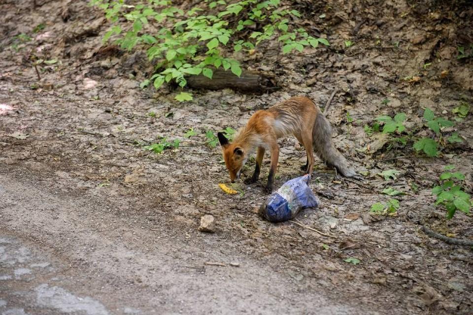 Не кормите, не в зоопарке: лисы на Байкале кусают туристов, когда те пытаются их приласкать.
