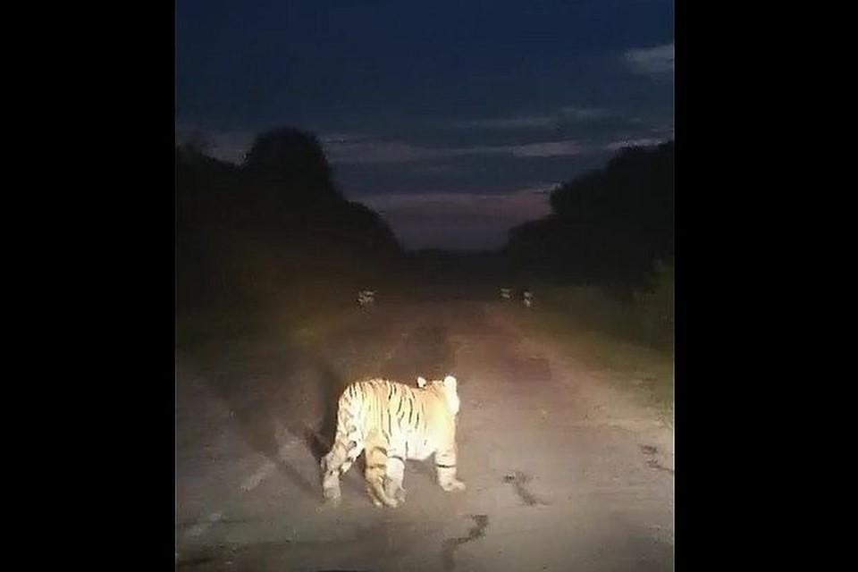 Тигр неспешно покинул трассу.