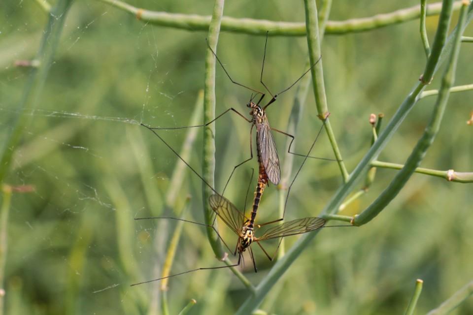 Долгоногие насекомые с полупрозрачными крыльями десятилетиями наводят ужас на людей