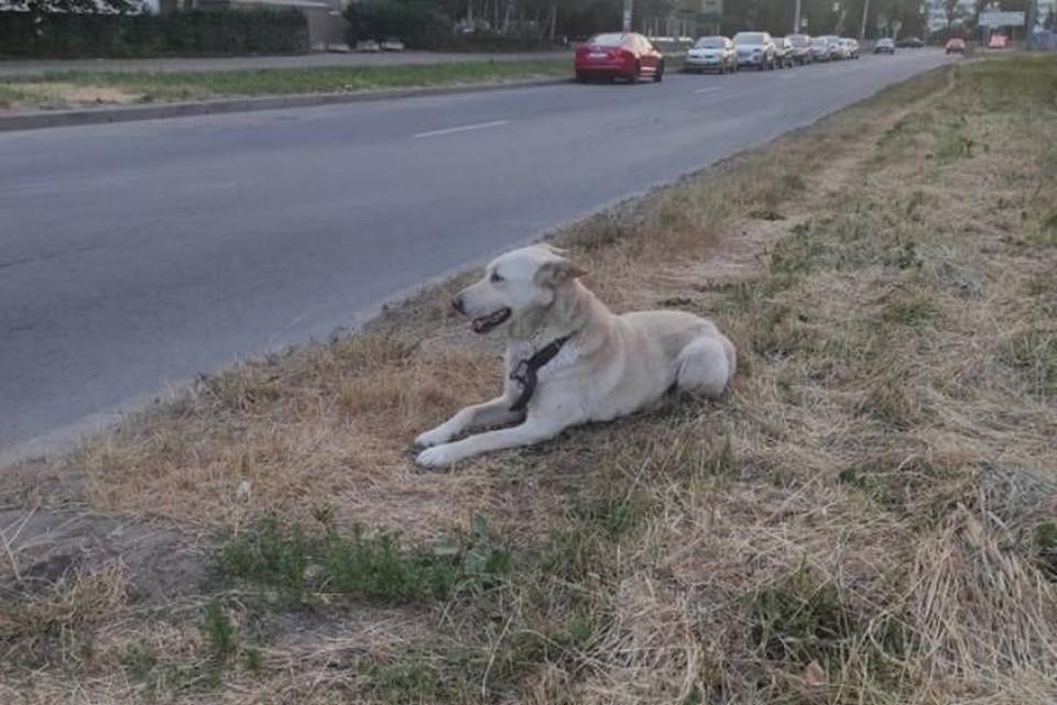 Собаку с раненной лапой и в ошейнике нашли на улице в Петербурге