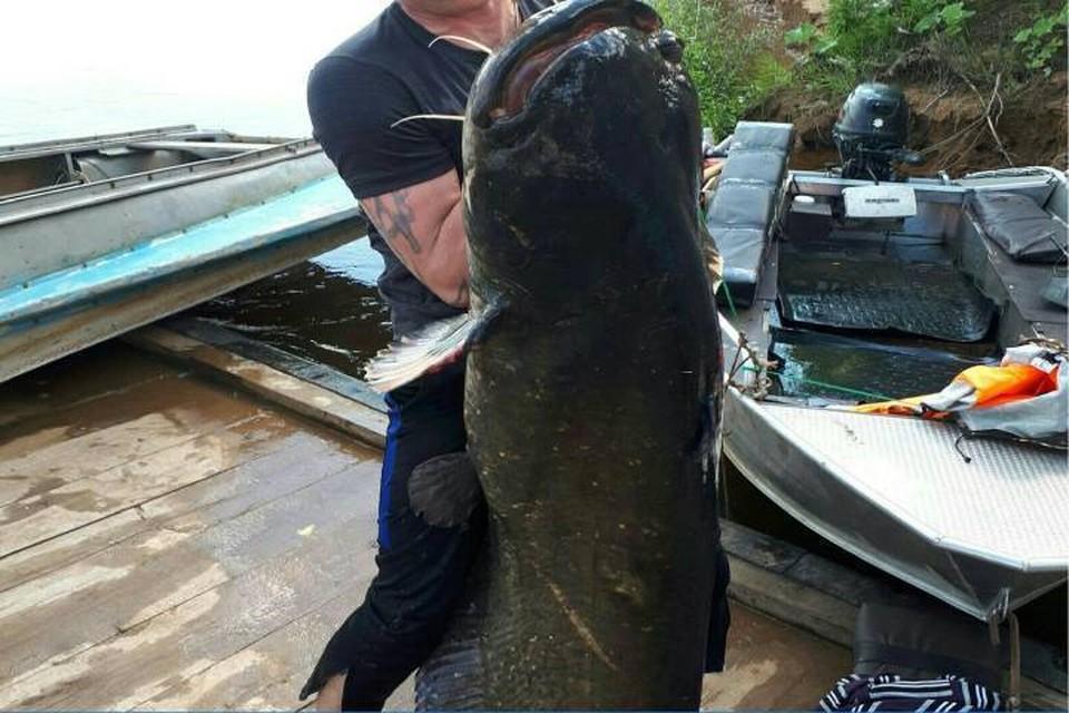 Длина сомов может достигать 5 метров, а масса - 300 кг. Фото: vk.com/vkotle