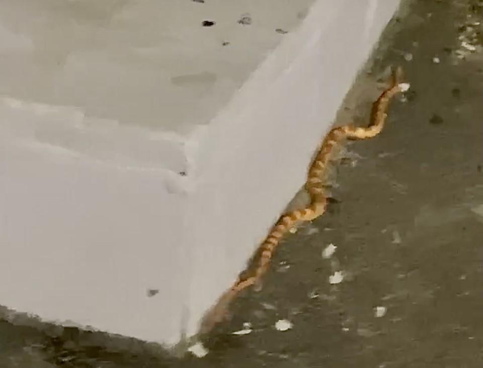 Вот такая змея ползала в Твери - безвредная, желтая и страшная. Фото: VK/ «Осторожно, Тверь!»