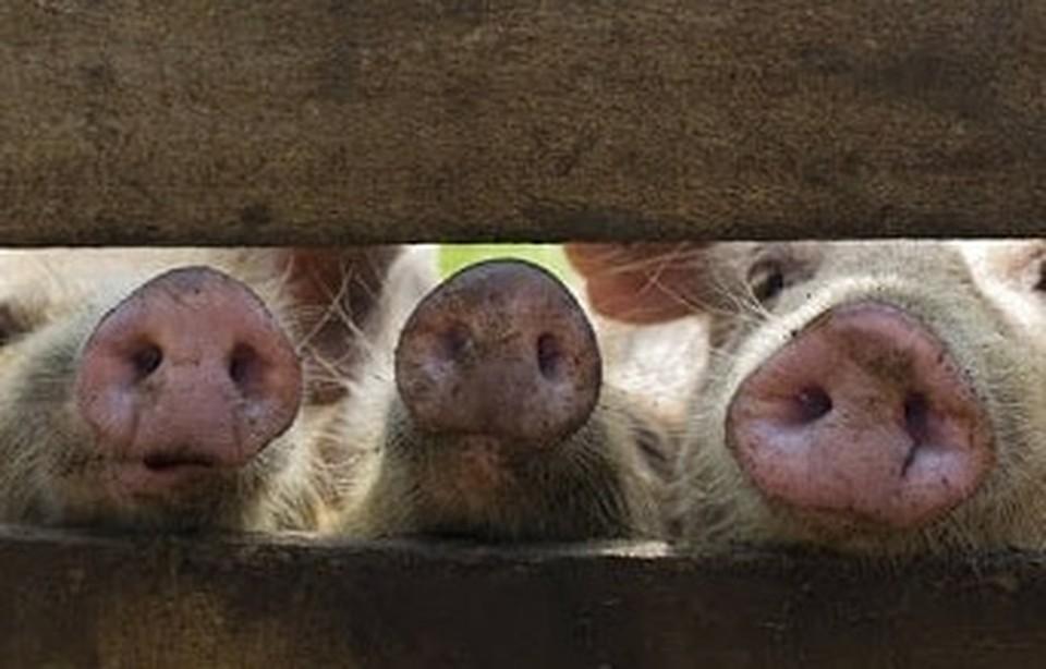 В Грибовке на сегодняшний день отчуждению подлежат 5 свиней Фото: Управление ветеринарии Амурской области