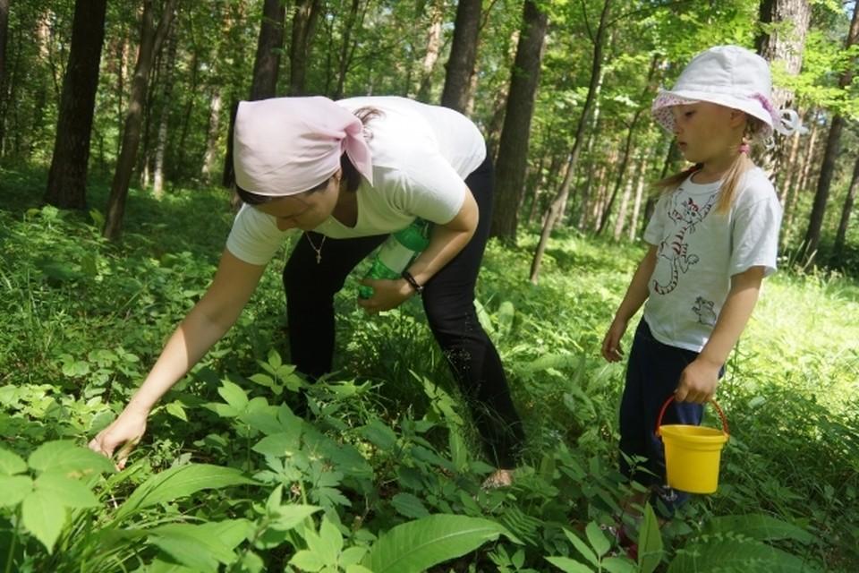 В Сибири созревание черники активизируется в конце июля, сбор продолжается обычно до сентября, а иногда даже и до первого снега.